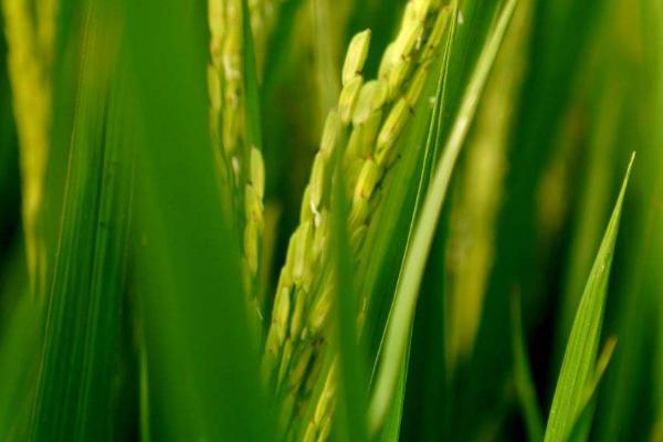 水稻开花期用药注意事项